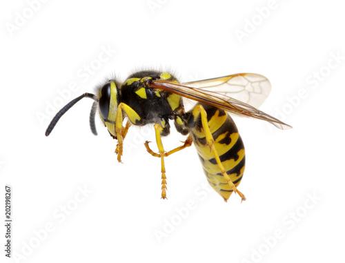 mata magnetyczna wasp on white