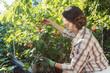 Frau im Garten pflückt rote Johannisbeeren