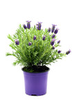 flower pot of Spanish lavender (Lavandula stoechas) on white isolated background - 202219476