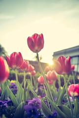 Tulpen im Mirabellgarten Salzburg, Abendsonne
