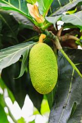 Banana tree with bunch of growing ripe green bananas