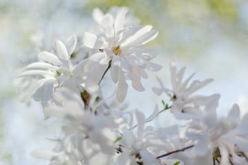 Przepiękne kwiaty magnoli