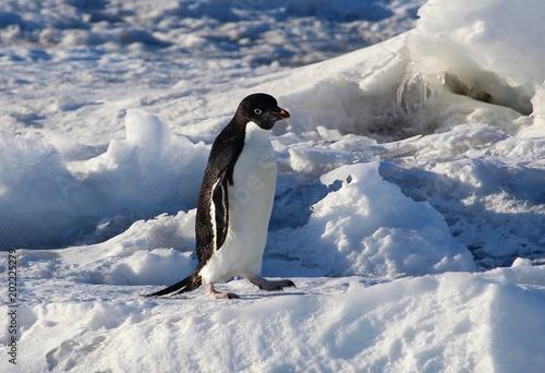 Fotobehang Pinguin Adelie Penguin in Mcmurdo, Antarctica