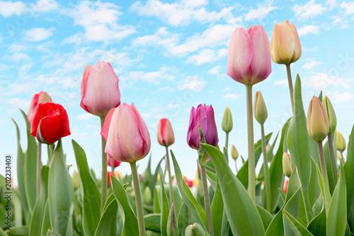 Plexiglas Tulpen bunte Tulpen und hellblauer Himmel mit Wölkchen