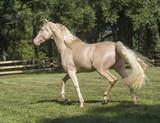 Cremallo Morgan Horse stallion - 202235420