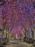 Kirschblüte in der Bonner Altstadt - 202238211