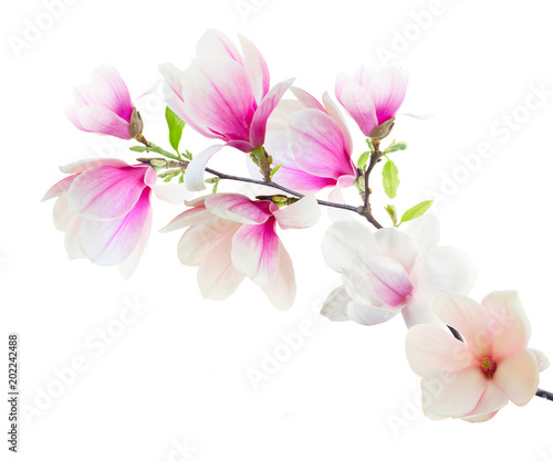 Magnolia Flowers on White
