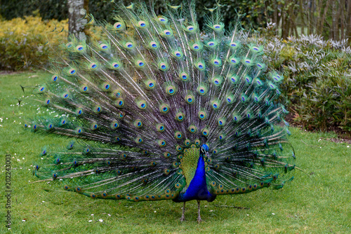 Plexiglas Pauw Proud peacock is presenting its magnificent tail