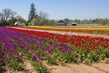 Field of tulips in Woodburn Oregon.
