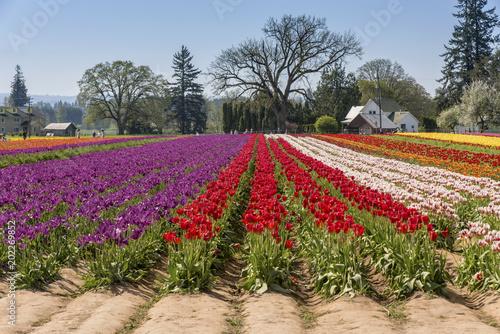 Plexiglas Tulpen Field of tulips in Woodburn Oregon.