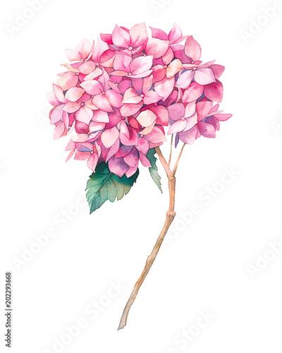 akwarela-rozowy-kwiat-hortensji-recznie-malowane-botaniczne