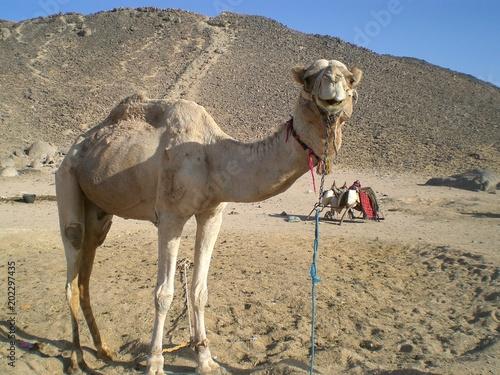 Aluminium Kameel The Camel