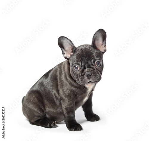 Plexiglas Franse bulldog Young french bulldog on a white background