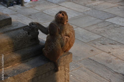Plexiglas Aap Two monkeys at the temple site of Swayambhunath Stupa, Kathmandu, Nepal