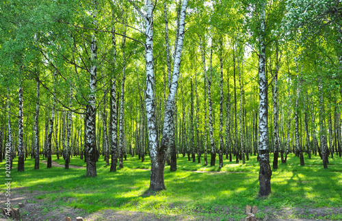 Aluminium Berkenbos birch grove with green leaves in the spring in the sun. early may