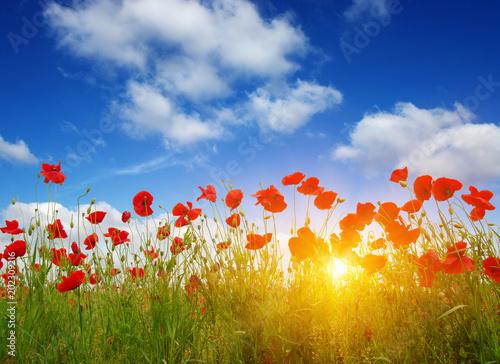 Plexiglas Klaprozen Red poppies on field