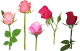 five rose buds collcetion on white