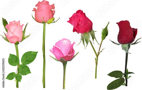 Fototapeta five rose buds collcetion on white