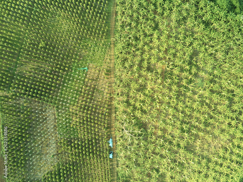 Plexiglas Rijstvelden Aerial drone view banana plantation Cambodia