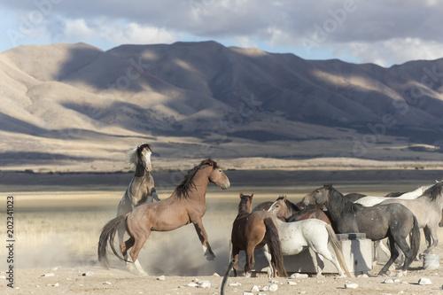 Plexiglas Beige Onaqui Herd wild mustangs in the Great Desert Basin, Utah USA
