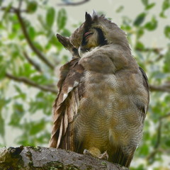 very rare giant eagle owl in Kruger National park in South Africa,district Sukuza