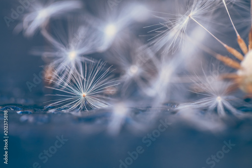 Selective focus on Dandelion seeds for nature background