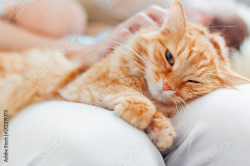 Fotobehang Kat Woman stroking cute ginger cat on her knees. Fluffy pet frowning of pleasure. Cozy morning at home.