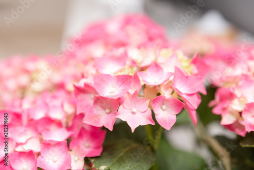 Plexiglas Azalea leafy plant with green stems and white and pink flowers