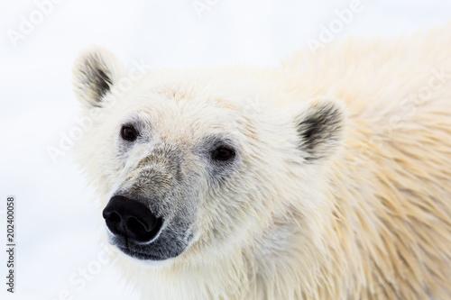 Fotobehang Ijsbeer Eisbär, Spitzbergen, Norwegen, Packeis, Nordpol, Wasser, Eisberg