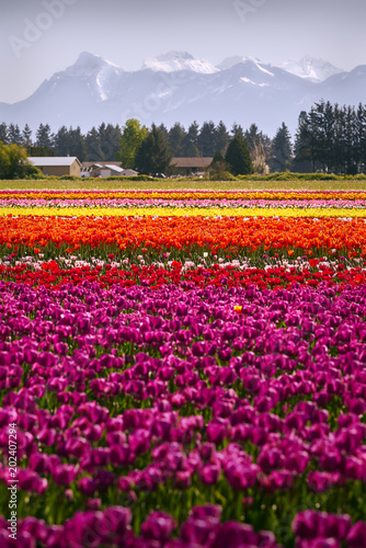 Colorful Tulips in the Field. Tranquil field of tulips in the Spring.