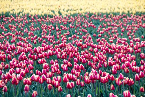 Plexiglas Tulpen Tulpen auf einem Feld in Sachsen-Anhalt