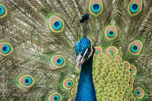 Plexiglas Pauw closeup of peacock with colorful plumage