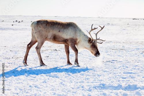 Reindeer in winter tundra