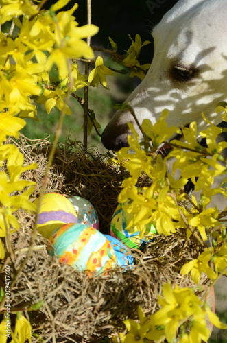 Nest with painted easter eggs hidden in Forsythia. A predator is approaching the nest.