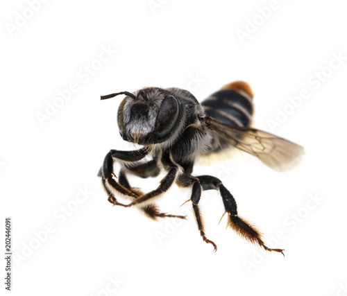 Bee on white background