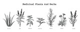 Medicinal plants and herbs hand drawing vintage engraving illustration - 202451039