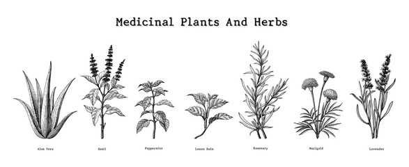 Medicinal plants and herbs hand drawing vintage engraving illustration