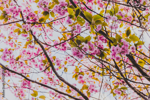 spring trees with branches full of pink flowers blooming
