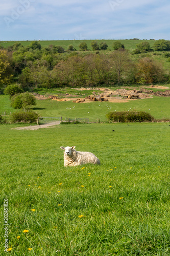 A Sheep in the Countryside