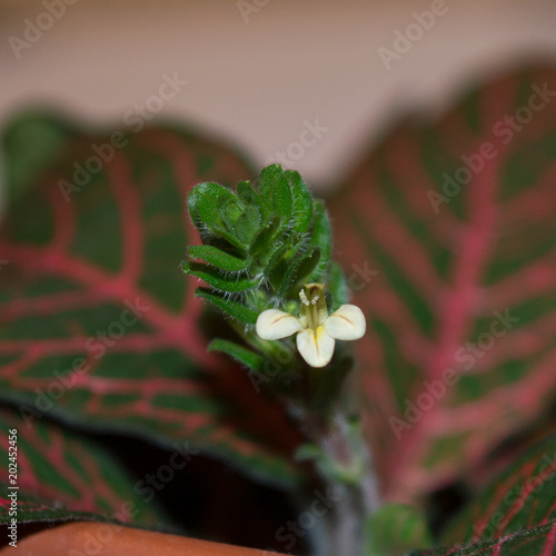 Close up of blooming fittonia verschaffeltii, ornamental houseplant with mosaic foliage