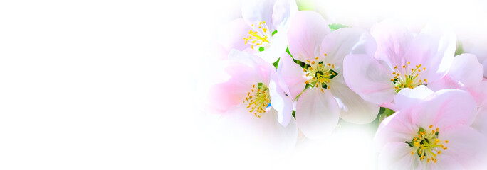 The branch of white and pink apple flower blossom on white background, copy space © Kisa_Markiza