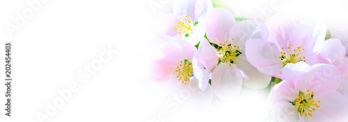 The branch of white and pink apple flower blossom on white background, copy space
