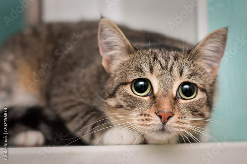 A frightened tabby cat with white paws sits on the window
