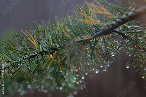 Wind of pine  with drops during rain, on a blurred background