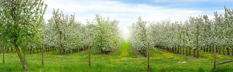 Apfelbaumplantage in der Blüte