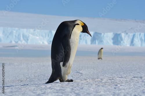 Plexiglas Pinguin Antarctica penguins