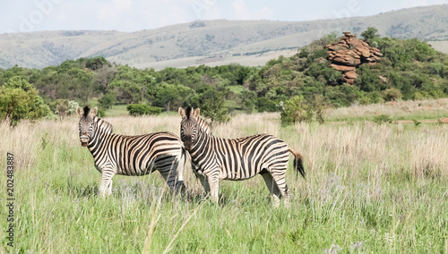 Two African Zebras on the savannah Photographed on safari in a South African game reserve
