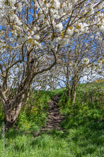 little path through the blossom trees