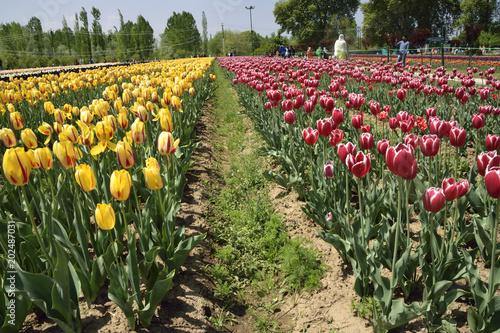 Plexiglas Tulpen beautiful kashmir valley
