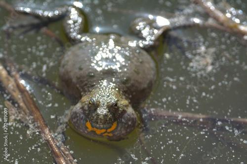 European fire-bellied toad
